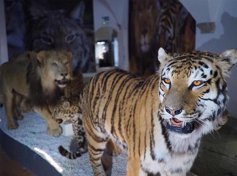 felini del Museo di Storia Naturale