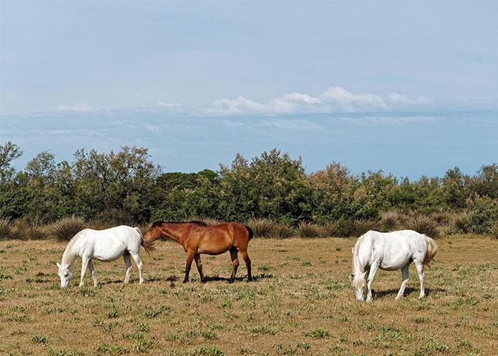 Cavalli in libertà in Camargue